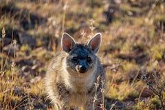 Aardwolf Fotos de Stock Royalty Free