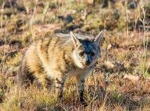 Aardwolf Imagem de Stock
