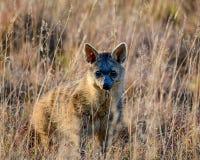 Aardwolf Στοκ Εικόνα