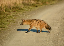 Aardwolf Foto de Stock