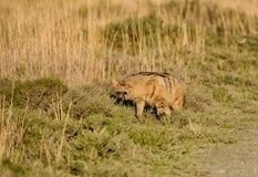 Aardwolf Imagens de Stock