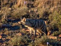 Aardwolf Imagem de Stock Royalty Free
