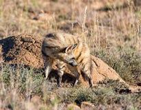 Aardwolf Στοκ Φωτογραφίες