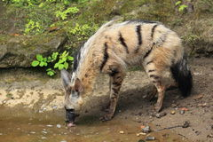 Aardwolf Royalty Free Stock Photos