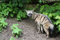 Aardwolf. (Proteles cristata) staying before bush Stock Photography