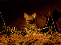 Aardwolf puppies. An extremely rare sighting of a litter of Aardwolf puppies. Taken at nighttime with minimal lighting and high ISO to avoid disturbing these Stock Photos