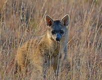 Aardwolf que está na grama longa Imagem de Stock