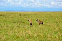 Aardwolf seeking. And  Grasslands in Africa Stock Photos