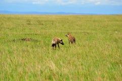 Aardwolf seeking. And  Grasslands in Africa Stock Photo