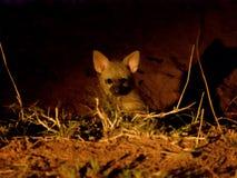 Aardwolf szczeniaki zdjęcia stock
