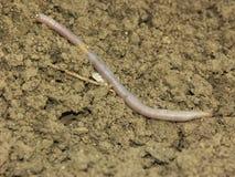 Aardworm Stock Afbeelding