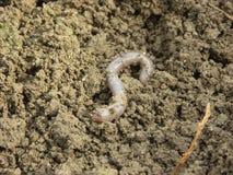 Aardworm Stock Afbeeldingen
