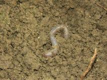 Aardworm Royalty-vrije Stock Afbeeldingen