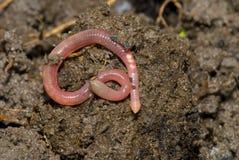 Aardworm