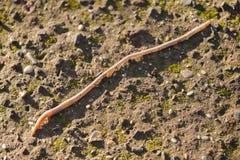 Aardworm, lombricusterrestris Royalty-vrije Stock Afbeelding