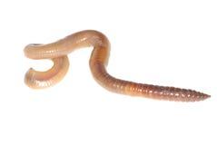 Aardworm op wit Royalty-vrije Stock Foto