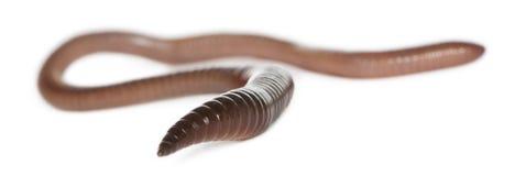 Aardworm, terrestris Lumbricus Royalty-vrije Stock Foto's