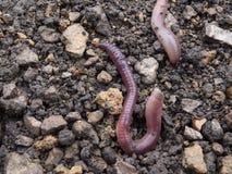 Aardwormen Royalty-vrije Stock Afbeeldingen