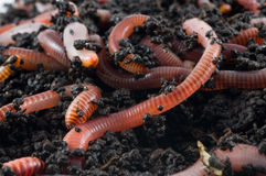 Aardwormen in de aarde Royalty-vrije Stock Foto