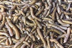 Aardwormen dicht bij visserij Royalty-vrije Stock Afbeeldingen