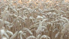 Aartjes die van tarwe in de wind slingeren stock videobeelden