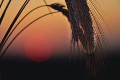 Aartjes en de zonsopgang op het gebied Stock Foto