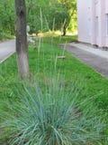 Aartjes van decoratief gras stock foto