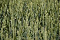 Aartjes van groene tarwe Rijpende tarwe op het gebied royalty-vrije stock afbeelding