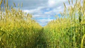 Aartjes van tarwe in de wind stock video