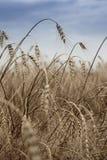 Aartjes van tarwe in het zonlicht Geel gebied Stock Fotografie