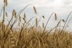 Aartjes van tarwe in het zonlicht Geel gebied Stock Afbeeldingen