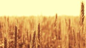 Aartjes van tarwe op een gebied bij zonsondergang stock video