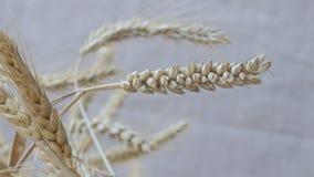 Aartjes van tarwe op een lichte achtergrond Close-up stock afbeeldingen