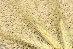 3 aartjes van tarwe zijn verspreid bij de korreloogst Stock Foto's