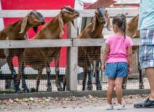 Aarzelend meisje en zeer vriendschappelijke geiten royalty-vrije stock afbeelding