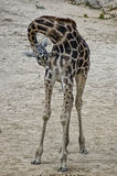 Aarzelende giraf stock foto