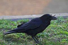 Aas-Krähe (Corvus corone) Lizenzfreies Stockfoto