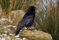 Aas-Krähe - Corvus corone Stockfoto