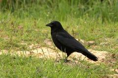 Aas-Krähe - Corvus corone Lizenzfreies Stockfoto