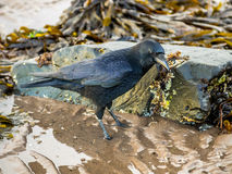 Aas-Krähe (Corvus Corone) Lizenzfreie Stockbilder
