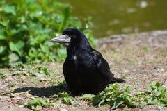 Aas-Krähe (Corvus Corone) Stockfotografie