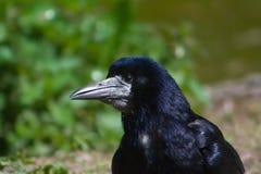 Aas-Krähe (Corvus Corone) Lizenzfreie Stockfotografie