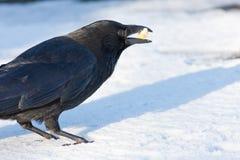 Aas-Krähe im Schnee Lizenzfreie Stockfotos