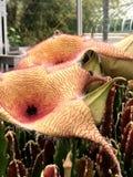 Aasblume oder Zulu- Riese u. x28; Stapelia gigantea& x29; Lizenzfreies Stockbild