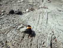 Aaskäfer, Aaskäfer, (Necrophorus-vespillo) Stockbild