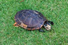 Aasschildpad, schildpadsterfgevallen Stock Foto