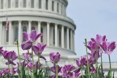 Abóbada da construção do Capitólio dos E.U. com primeiro plano das tulipas, Washington DC, EUA fotografia de stock