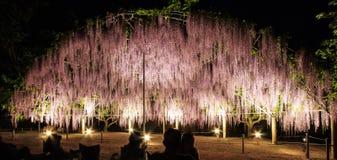 A abóbada da flor da luz - treliça roxa da glicínia na flor na noite no parque da flor de Ashikaga, Ashikagashi, Tochigi, Japão Imagem de Stock