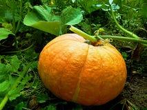 Abóbora amarela madura em um close-up de uma exploração agrícola fotografia de stock royalty free
