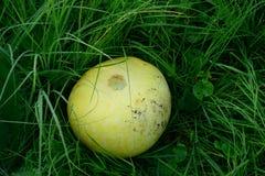 Abóbora amarela na grama com gotas do orvalho da manhã Fotografia de Stock